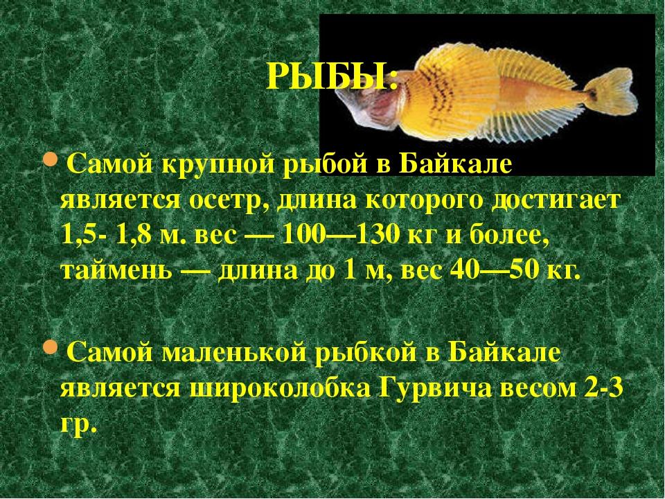 Самой крупной рыбой в Байкале является осетр, длина которого достигает 1,5- 1...