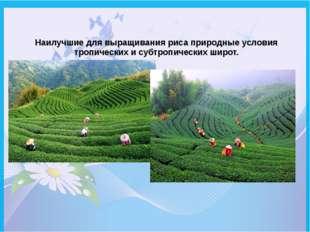 Наилучшие для выращивания риса природные условия тропических и субтропических