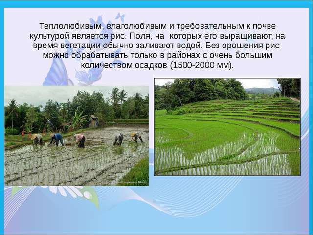 Теплолюбивым, влаголюбивым и требовательным к почве культурой является рис. П...