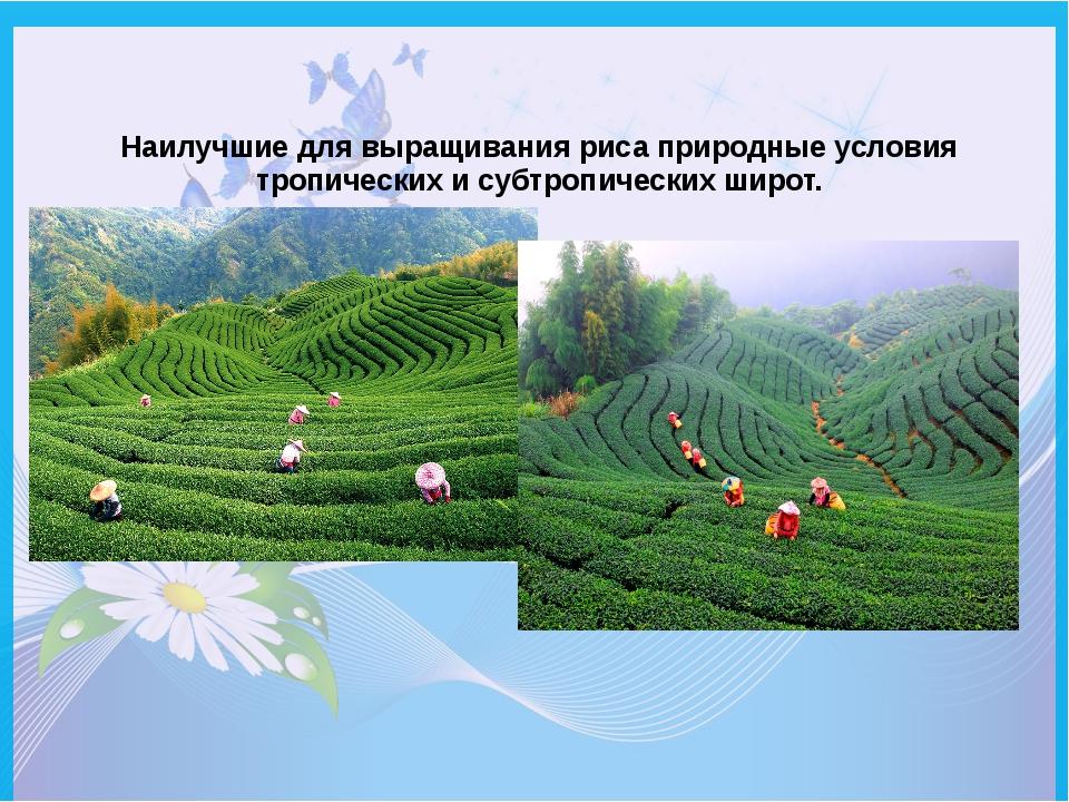 Наилучшие для выращивания риса природные условия тропических и субтропических...