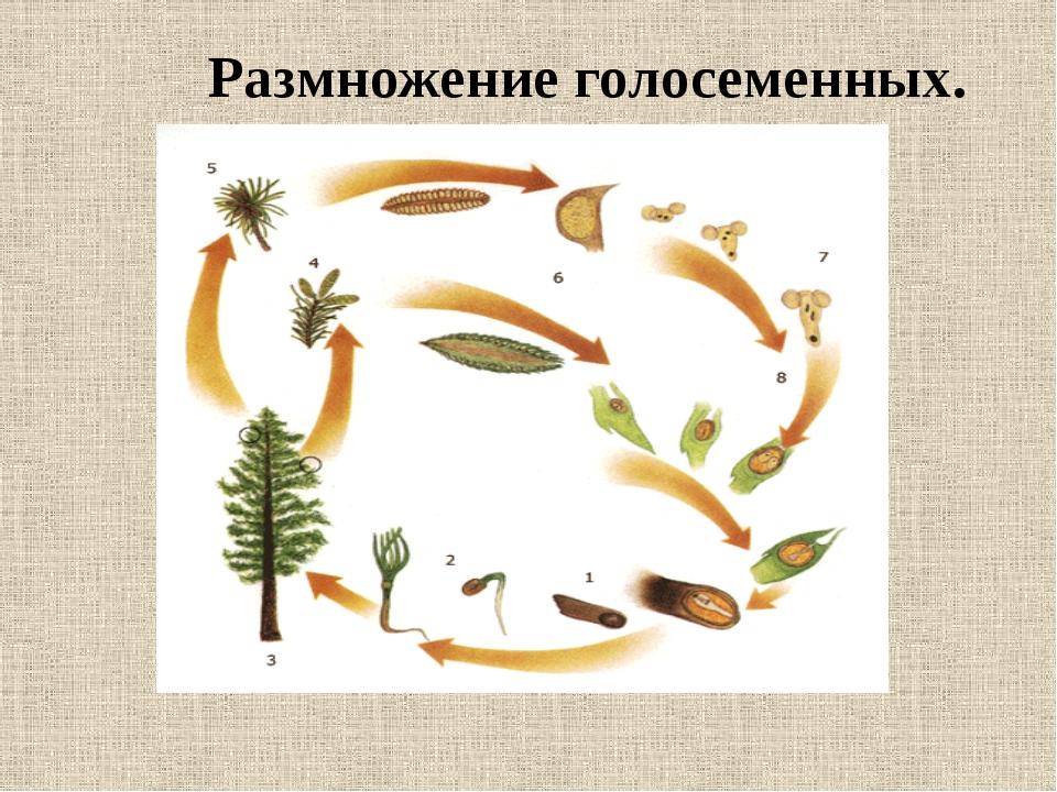 схема размножения голосеменных растений