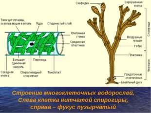 Строение многоклеточных водорослей. Слева клетка нитчатой спирогиры, справа –