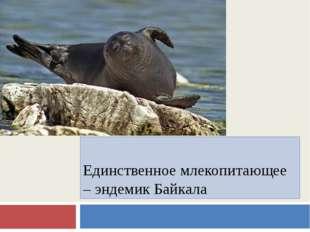 Единственное млекопитающее – эндемик Байкала