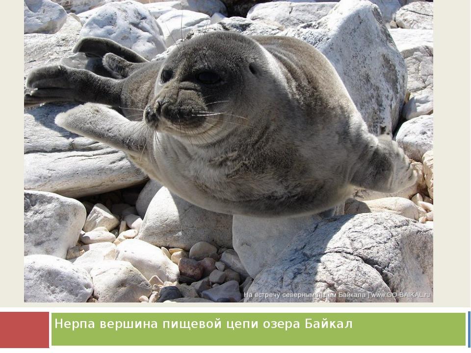 Нерпа вершина пищевой цепи озера Байкал
