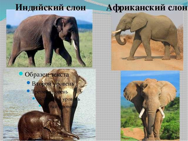 Индийский слон Африканский слон