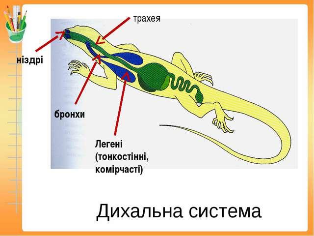 Дихальна система ніздрі трахея бронхи Легені (тонкостінні, комірчасті)