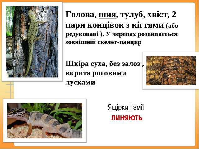 Голова, шия, тулуб, хвіст, 2 пари концівок з кігтями (або редуковані ). У чер...