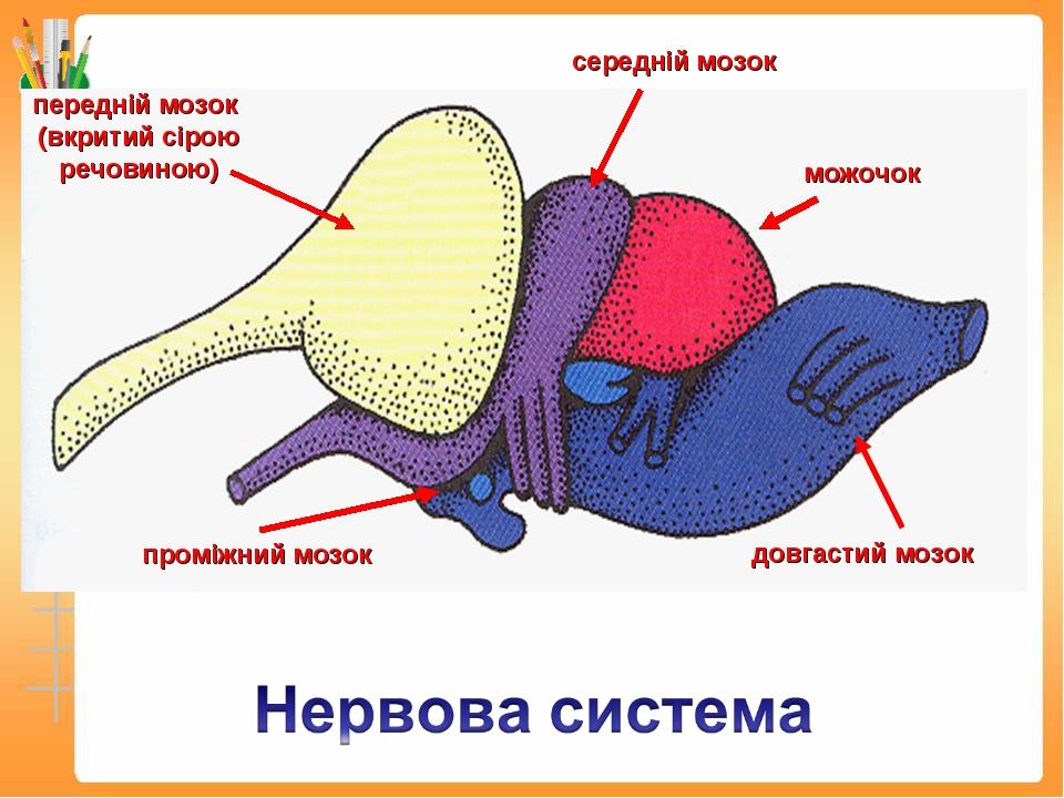 передній мозок (вкритий сірою речовиною) середній мозок можочок довгастий моз...