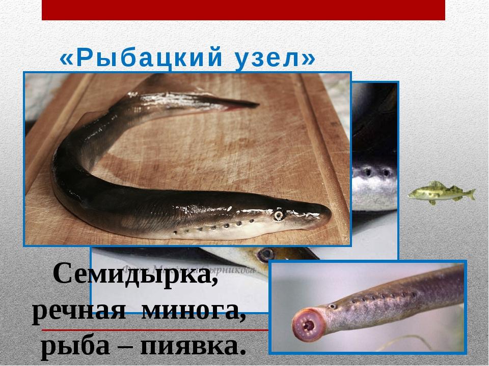 «Рыбацкий узел» Семидырка, речная минога, рыба – пиявка.