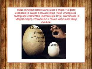 Яйцо колибри самое маленькое в мире. На фото изображено самое большое яйцо (я
