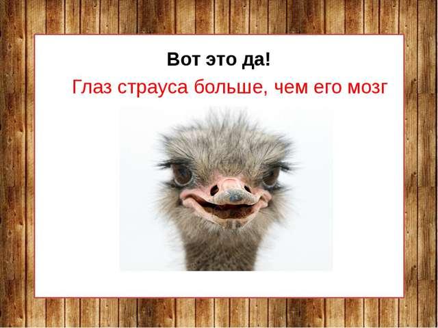 Вот это да! Глаз страуса больше, чем его мозг