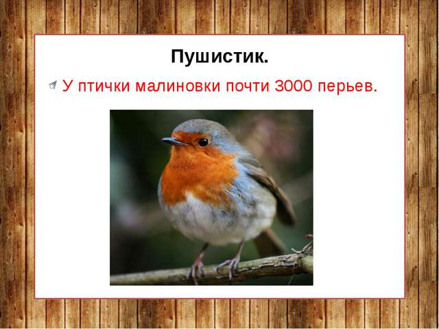 Пушистик. У птички малиновки почти 3000 перьев.