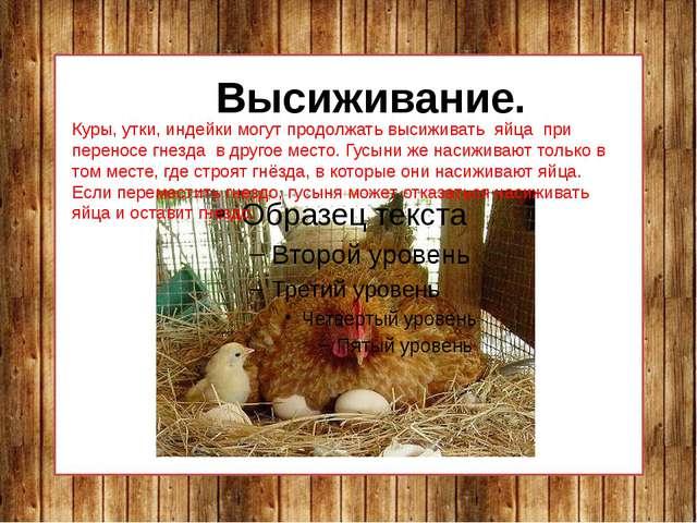 Высиживание. Куры, утки, индейки могут продолжать высиживать яйца при перено...