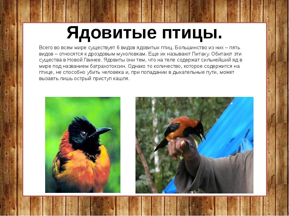 Ядовитые птицы. Всего во всем мире существует 6 видов ядовитых птиц. Большинс...