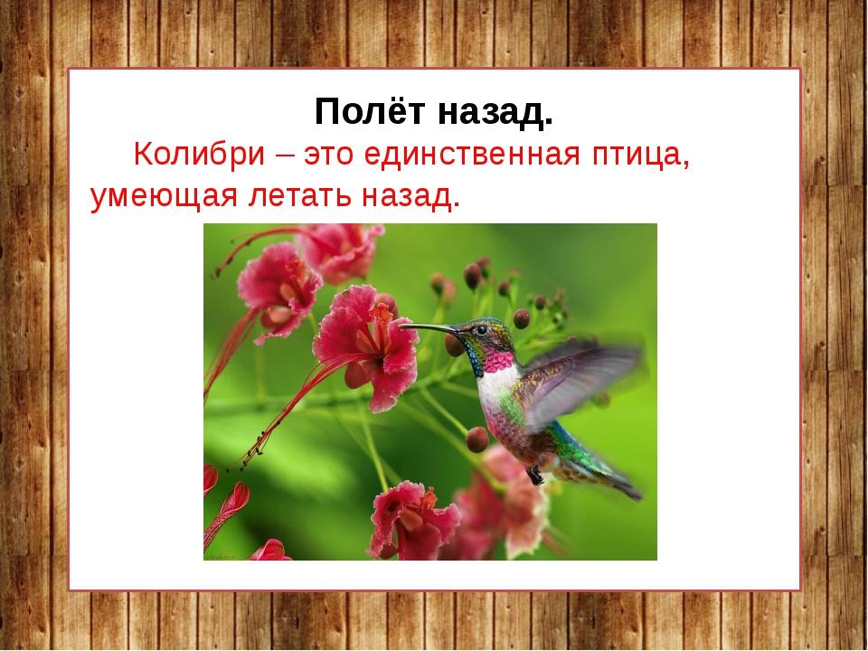 Полёт назад. Колибри – это единственная птица, умеющая летать назад.