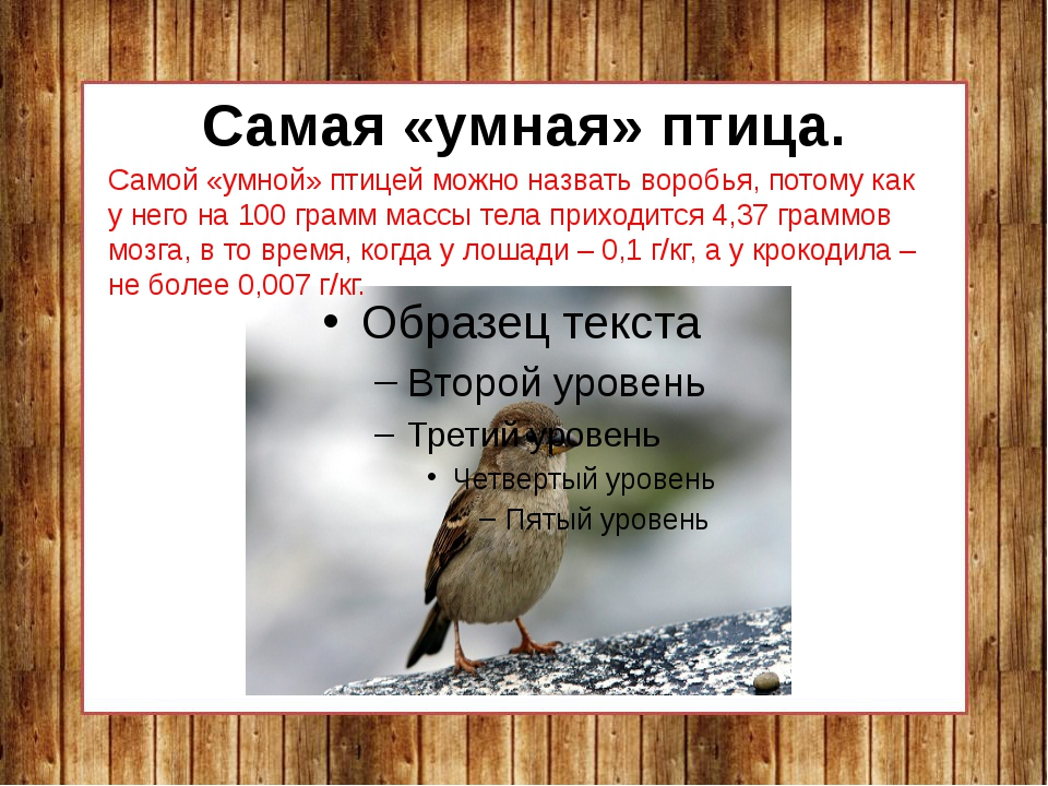 Самая «умная» птица. Самой «умной» птицей можно назвать воробья, потому как у...
