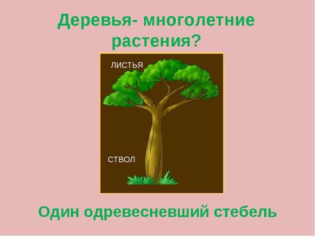 Деревья- многолетние растения? Один одревесневший стебель ЛИСТЬЯ СТВОЛ