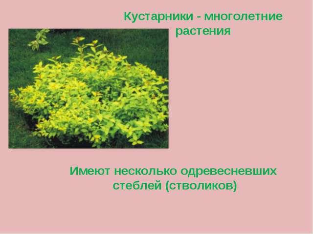 Кустарники - многолетние растения Имеют несколько одревесневших стеблей (ство...