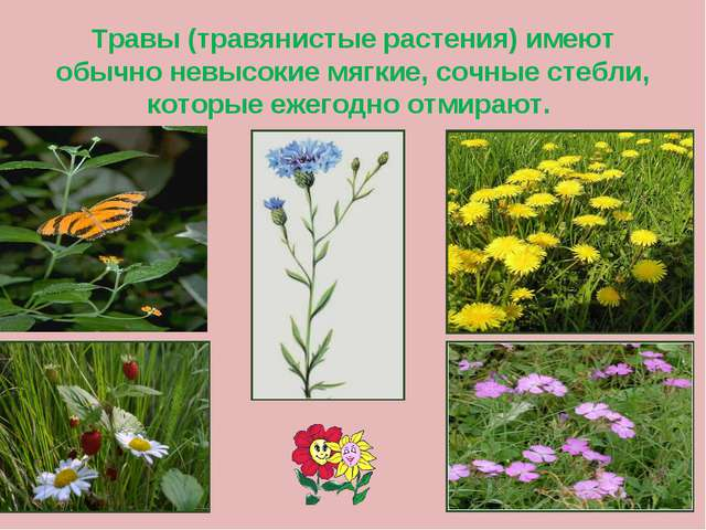 Травы (травянистые растения) имеют обычно невысокие мягкие, сочные стебли, ко...