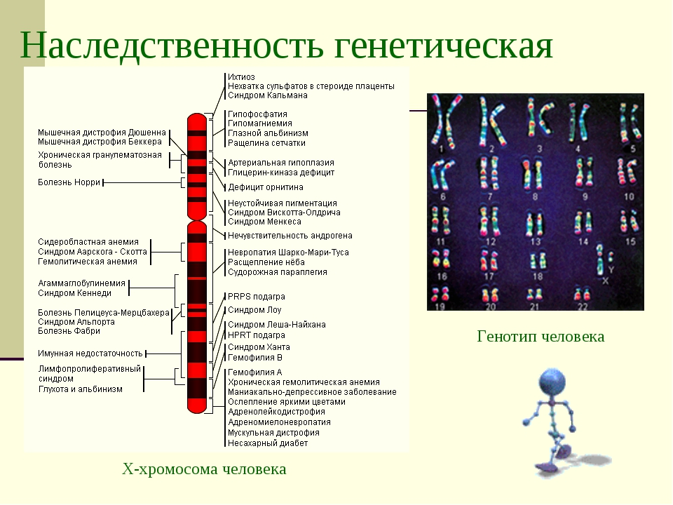 Наследственность генетическая Генотип человека Х-хромосома человека