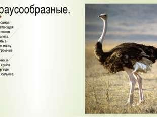 2.Страусообразные. Страус - это самая крупная нелетающая птица. Он слишком тя