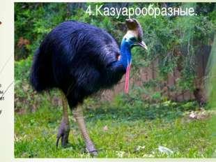 Часто данный отряд объединяют со страусообразными. Он включает в себя два сем