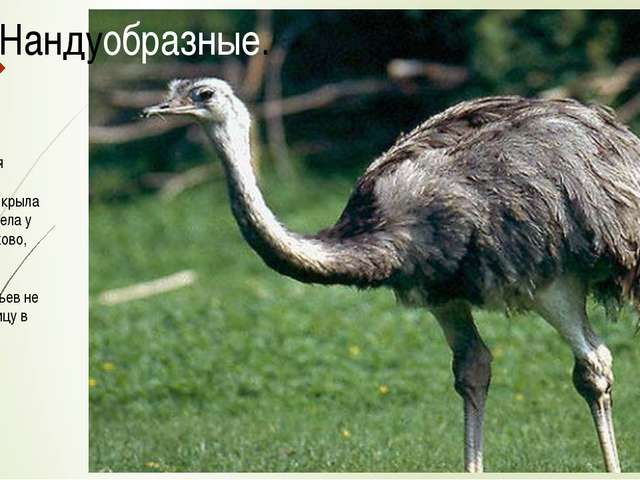 Соотношения несущей поверхности крыла и размеров тела у этих птиц таково, что...