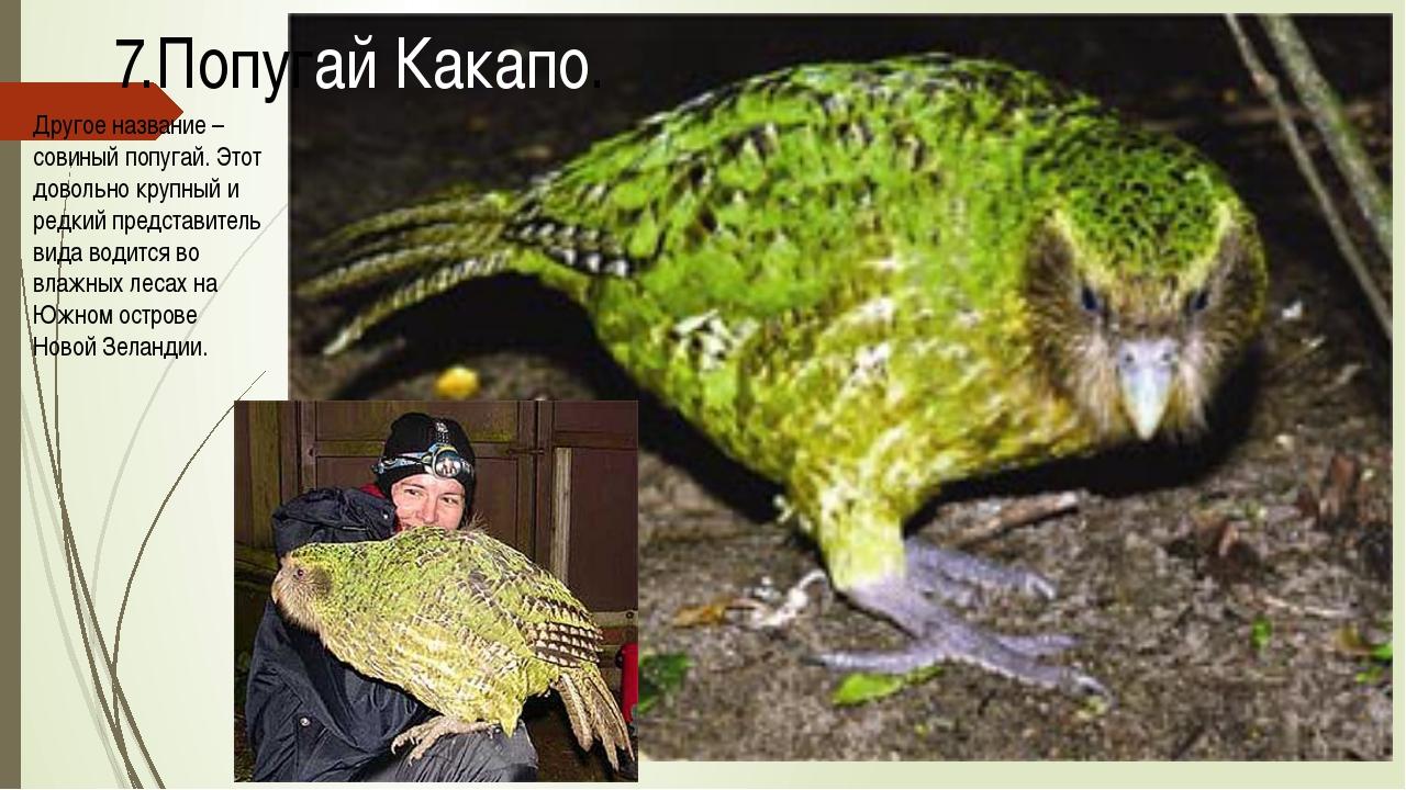 Другое название – совиный попугай. Этот довольно крупный и редкий представите...