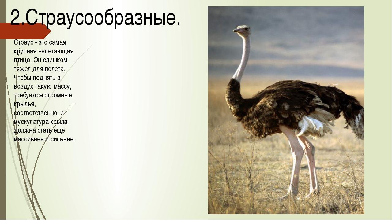 2.Страусообразные. Страус - это самая крупная нелетающая птица. Он слишком тя...
