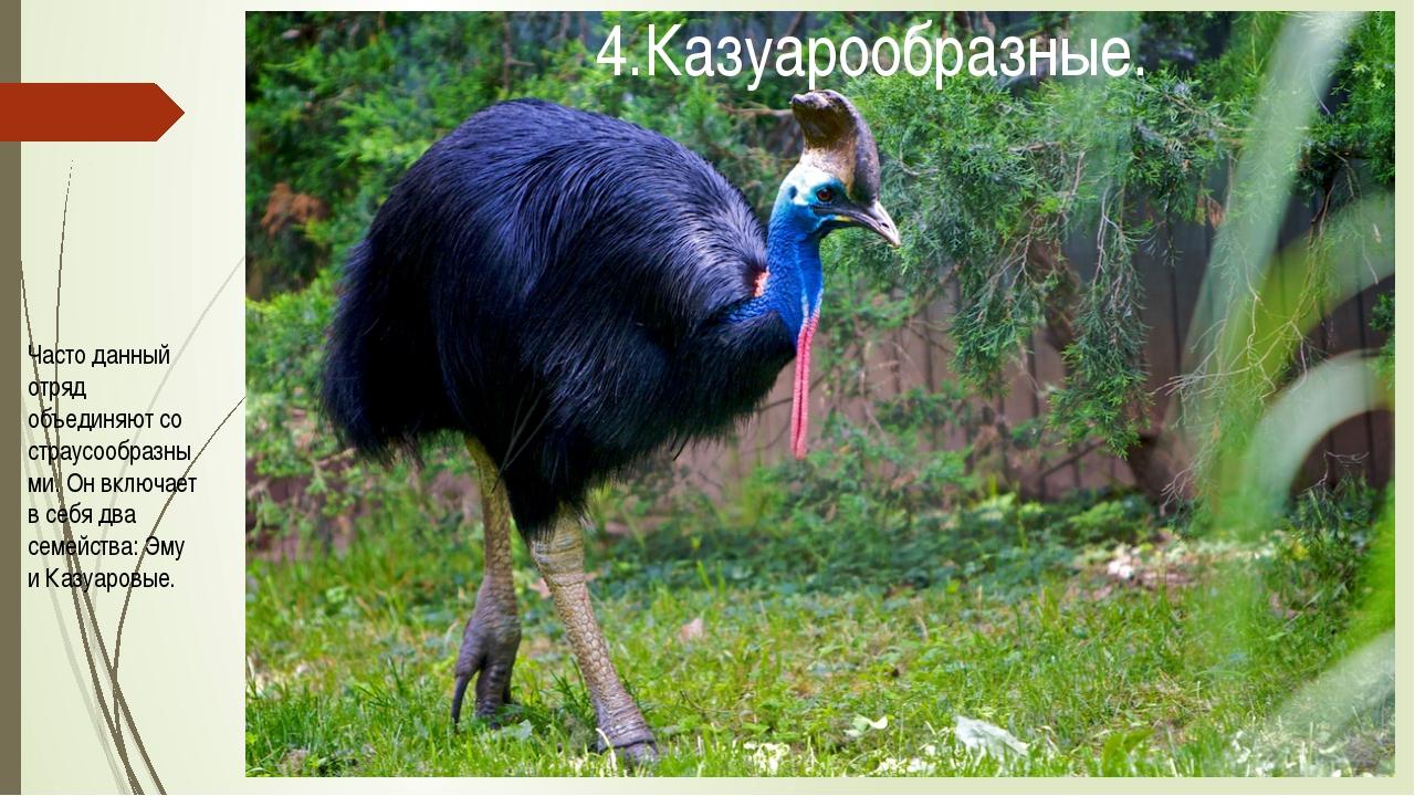 Часто данный отряд объединяют со страусообразными. Он включает в себя два сем...