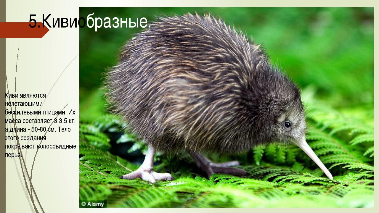 Киви являются нелетающими бескилевыми птицами. Их масса составляет 3-3,5 кг,...