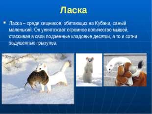 Ласка Ласка – среди хищников, обитающих на Кубани, самый маленький. Он уничт