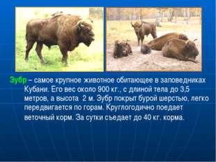 Зубр – самое крупное животное обитающее в заповедниках Кубани. Его вес около