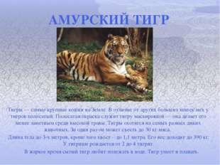 АМУРСКИЙ ТИГР Тигры — самые крупные кошки на Земле. В отличие от других больш