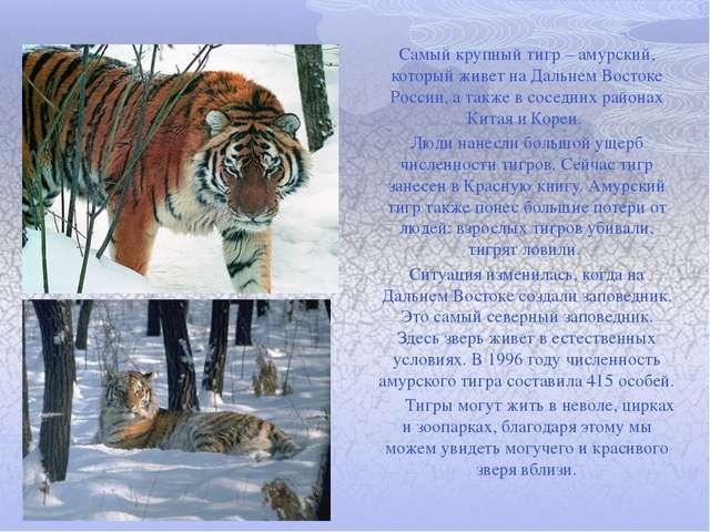 Самый крупный тигр – амурский, который живет на Дальнем Востоке России, а так...