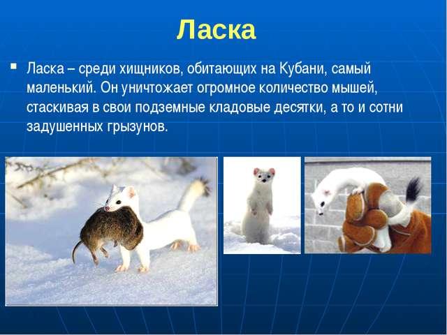 Ласка Ласка – среди хищников, обитающих на Кубани, самый маленький. Он уничт...