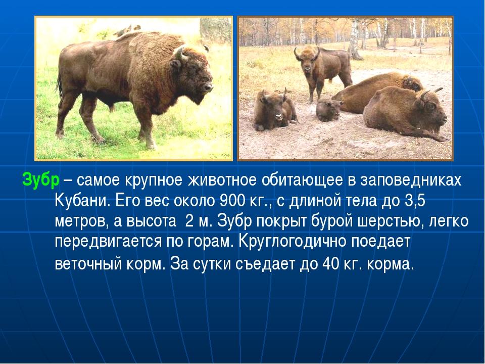 Зубр – самое крупное животное обитающее в заповедниках Кубани. Его вес около...