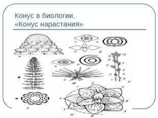 Конус в биологии. «Конус нарастания»