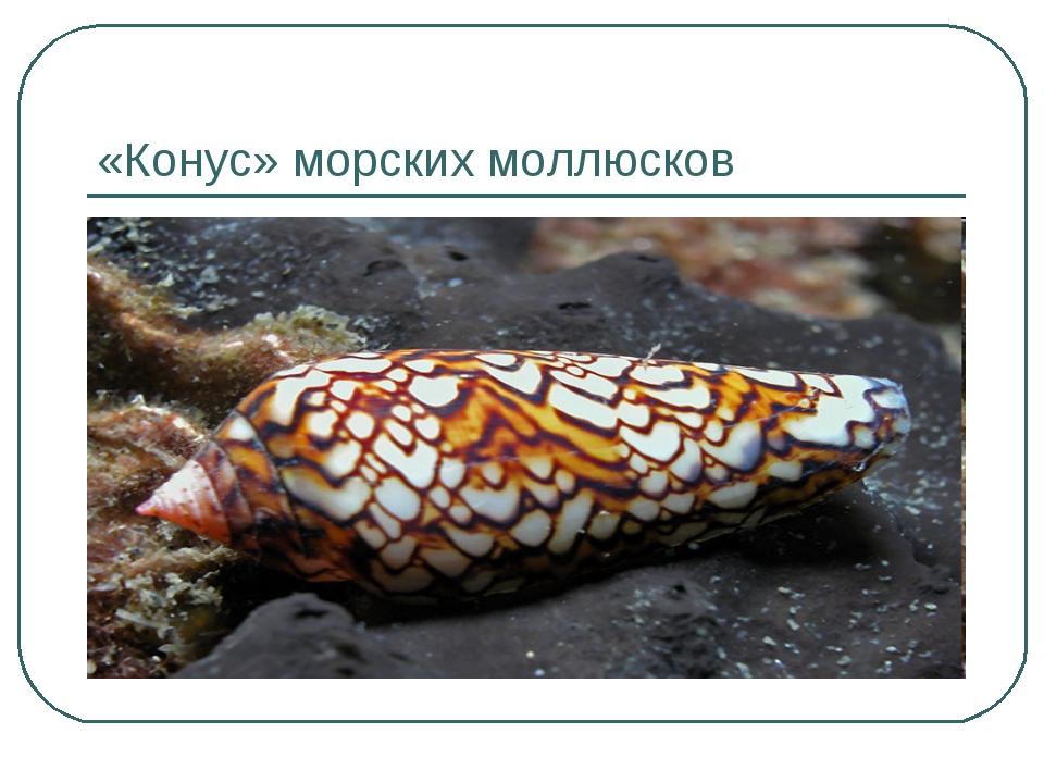 «Конус» морских моллюсков