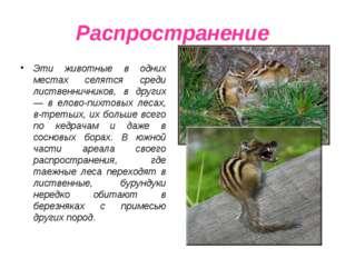 Распространение Эти животные в одних местах селятся среди лиственничников, в