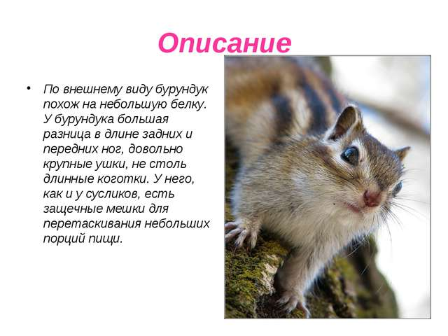 Описание По внешнему виду бурундук похож на небольшую белку. У бурундука боль...
