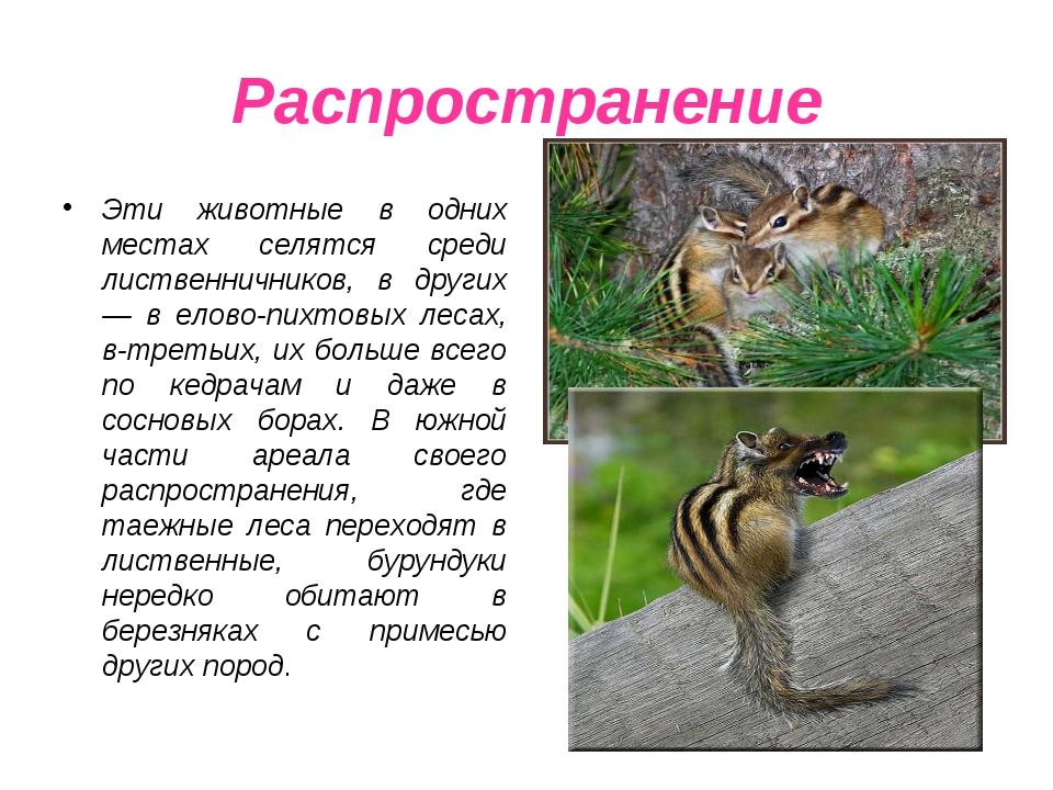 Распространение Эти животные в одних местах селятся среди лиственничников, в...