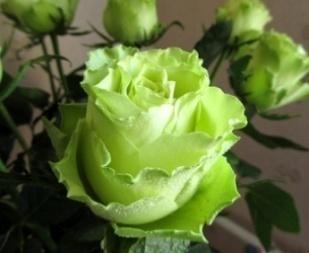 Лечебные свойства розы, фото