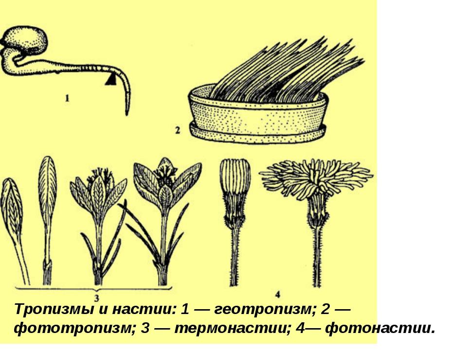 Фототропизм у растений примеры