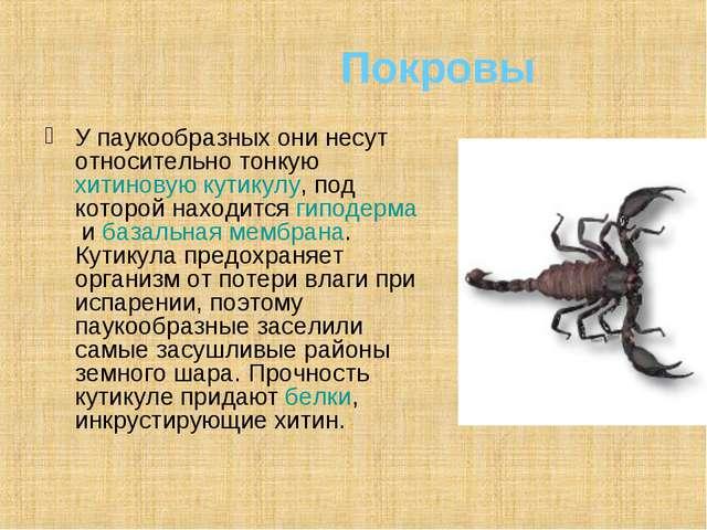 Покровы У паукообразных они несут относительно тонкуюхитиновуюкутикулу, по...