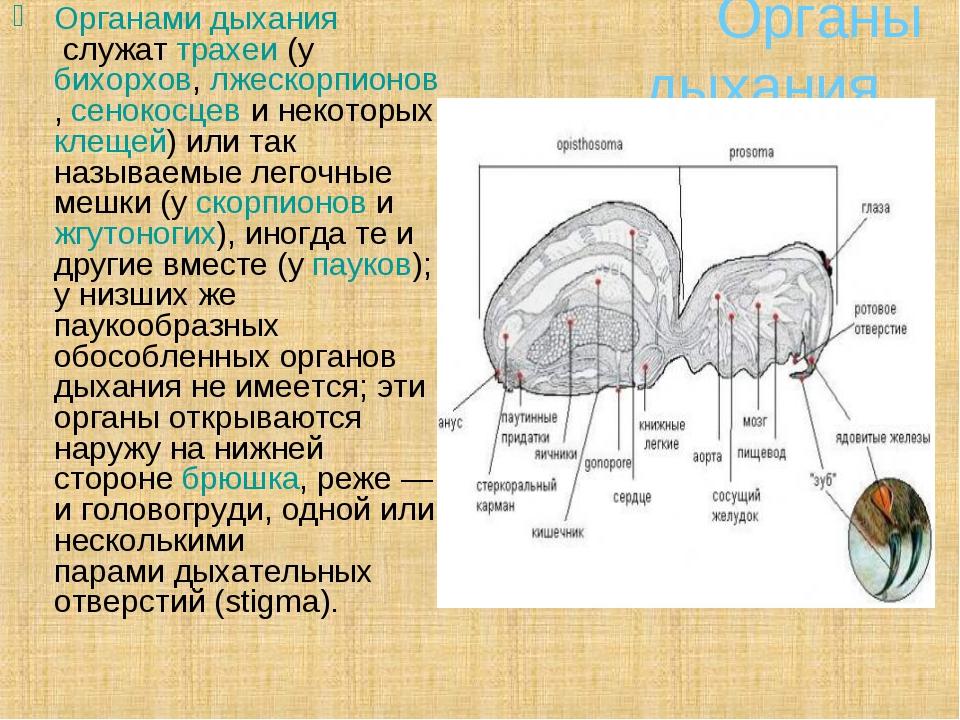 Органы дыхания Органами дыханияслужаттрахеи(убихорхов,лжескорпионов,се...