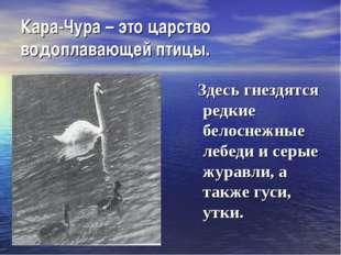 Кара-Чура – это царство водоплавающей птицы. Здесь гнездятся редкие белоснежн