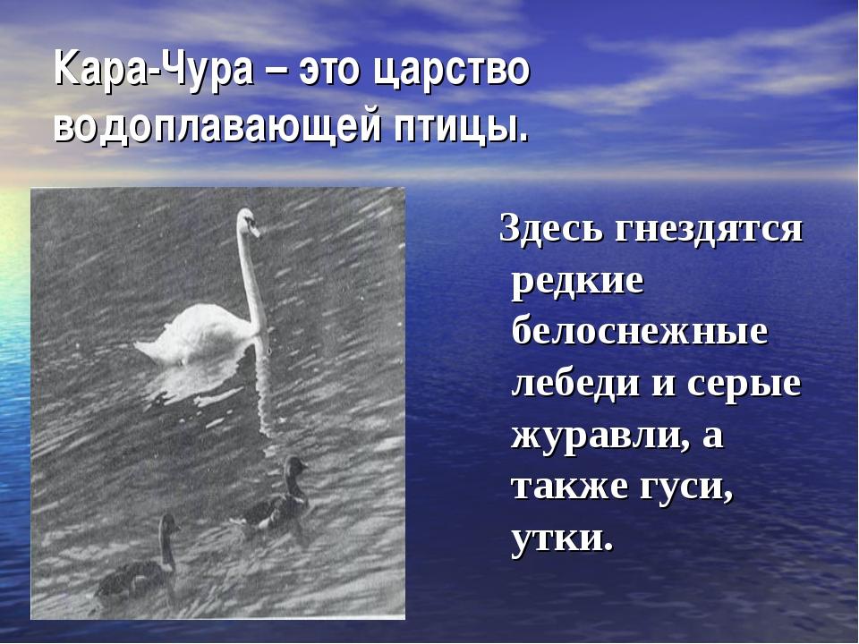 Кара-Чура – это царство водоплавающей птицы. Здесь гнездятся редкие белоснежн...