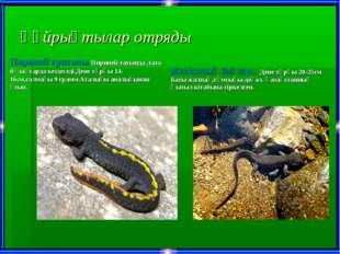 Құйрықтылар отряды Пириней тритоны.Пириней тауында ,таза бұлақтарда кездеседі