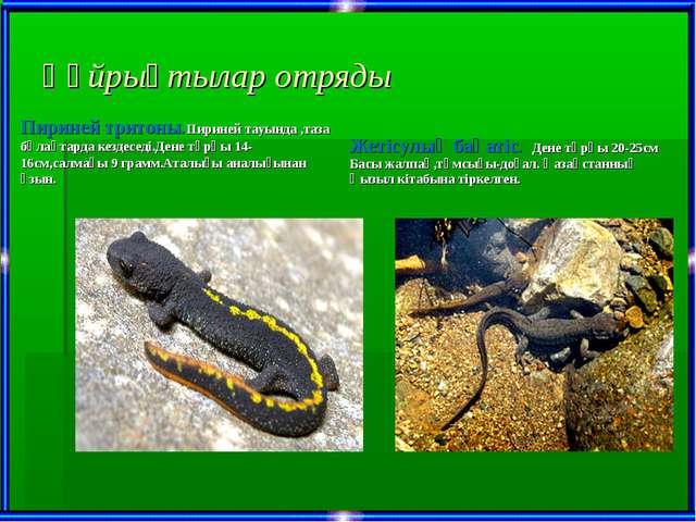 Құйрықтылар отряды Пириней тритоны.Пириней тауында ,таза бұлақтарда кездеседі...